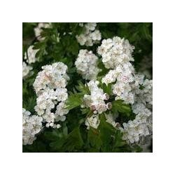 Espino Blanco Bio 15ML Herbalgem Pranarom