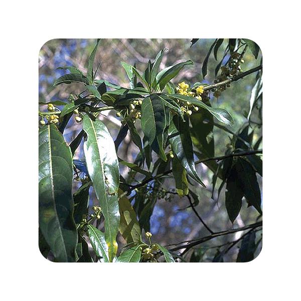 Aeqt Verbena Exotica Antiolor Bio 10ML Pranarom